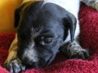 This liver roan pup is from a dam (Ava)who is the the