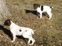 Purebread German Shorthaired Pointer Pups non