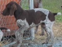 Exceptional pups ready to get started hunting upland