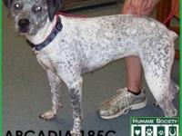 German Shorthaired Pointer - Rosie - Large - Adult -