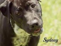German Shorthaired Pointer - Sydney - Large - Young -