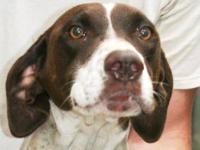 German Shorthaired Pointer - Tipper - Medium - Adult -