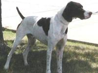 German Shorthaired Pointer - Truck - Medium - Adult -