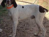 German Shorthaired Pointer - Walter - Medium - Young -