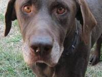 German Wirehaired Pointer - Boss - Large - Adult - Male