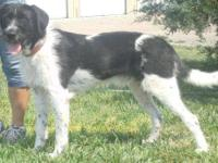 German Wirehaired Pointer - Jack - Large - Adult - Male