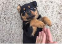 Adorable and cute Rottweiler puppies! Tails docked and