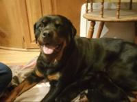 I have to German Rottweiler puppies they have their
