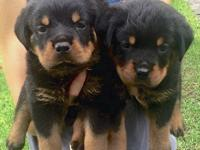 Home raised AKC German Rottweiler puppies for sale.