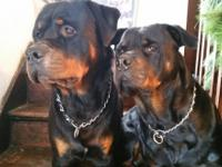 German rottweiler puppies 2 females left. Tails docked