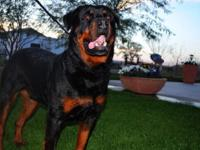 I have 3 male Rottweilers available...this little guys