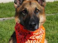 German Shepherd Dog - Becca - Large - Young - Female -