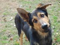 German Shepherd Dog - Bentley - Medium - Young - Male -