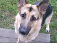 German Shepherd Dog - Bo - Large - Adult - Male - Dog