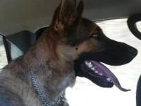 German Shepherd Dog - Donnie - Large - Young - Male -