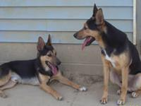 German Shepherd Dog - Frankie - Medium - Adult - Male -