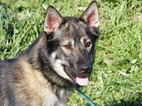 German Shepherd Dog - Halley - Large - Adult - Male -