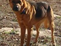 German Shepherd Dog - Karma - Large - Adult - Female -