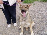 German Shepherd Dog - Keesha - Large - Adult - Female -