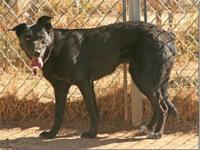 German Shepherd Dog - Molly - Large - Adult - Female -