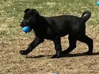Beautiful and very social solid black male pup is
