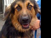 German Shepherd Dog - Remi - Large - Adult - Male -
