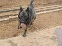German Shepherd Dog - Rufus - Large - Young - Male -