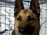 German Shepherd Dog - Sable Ii - Large - Adult - Female