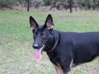 German Shepherd Dog - Simone - Large - Adult - Female -