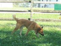 German Shepherd Dog - Swisher - Large - Adult - Male -