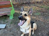 German Shepherd Dog - Trace - Large - Young - Male -