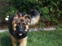 Large Breed German Shepherd Dog, Male 14 months Old.