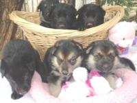 German Shepherd Puppies - AKC signed up, moms and dads