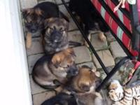Cute Sable and Black/Tan German Shepherd puppies for