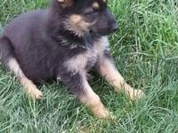 We have six beautiful purebred German Shepherd pups