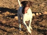 Adult male German Shorthair Pointer. Really great dog