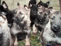 AKC. REG. FULL BLOODED PUPPYS  up to date on