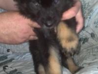 German Sheperd / Australian Sheperd cross, born May