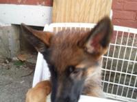 Beautiful male and female German Shepherd dogs. Born