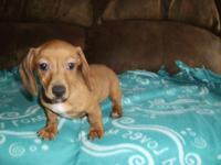 AKC doxie dogs. I have one red female with a white