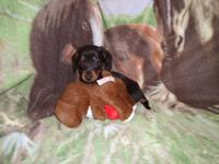CKC conventional black & & tan doxie pups. 2 females