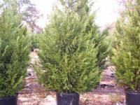 Leyland cypress and Green Giant 'thuja' arborvitae.