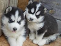 These beautiful little puppies are ready for there