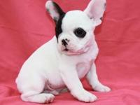 hgyfhhjf AKC French bulldog puppies Available.So gentle