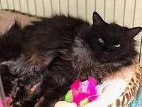 Ghiradelli's story Pretty Adult DMH Black Spayed