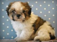 Beautiful Shih tzu puppies just turned 12 weeks and are