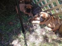 We have 4 beloved puppies left 1 fawn 1 apricot, 1 red
