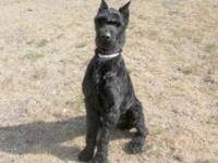 Giant Schnauzer - Chance - Large - Young - Male - Dog