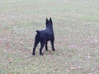 Black Female Giant Schnauzer available to right home.
