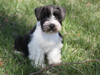 Black Giant Schnauzer puppies for sale. Located in